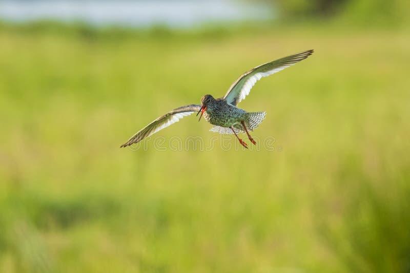 Общая птица wader totanus tringa redshank в полете стоковое изображение rf