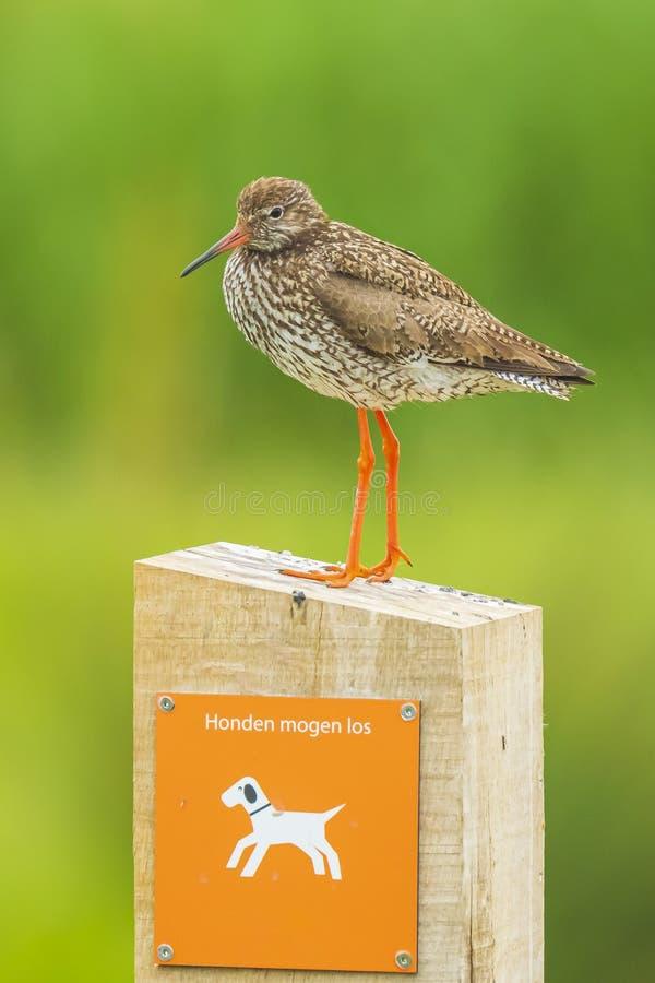 Общая птица wader totanus tringa redshank садить на насест на предупредительном знаке держать собак на поводке стоковое изображение rf