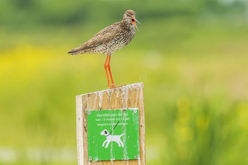 Общая птица wader totanus tringa redshank садить на насест на предупредительном знаке держать собак на поводке стоковая фотография rf
