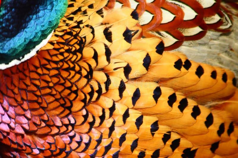 общее оперяется фазан стоковые изображения