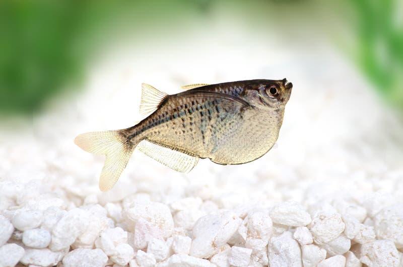 Общее серебряное sternicla Gasteropelecus Hatchetfish стоковые фотографии rf