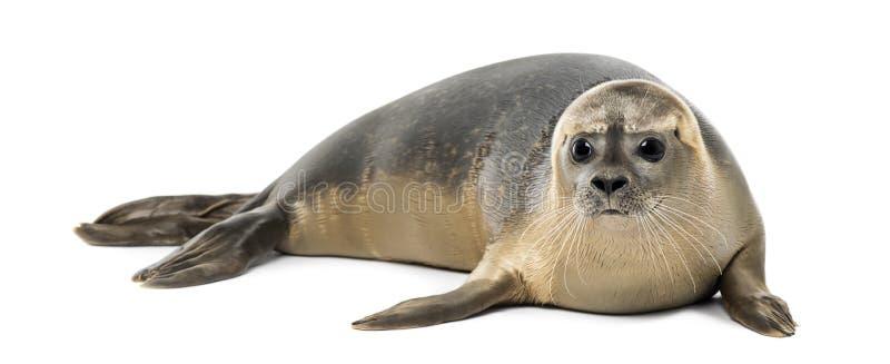 Общее уплотнение лежа, изолированное vitulina настоящего тюленя, 8 месяцев старых, стоковая фотография