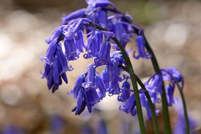 Общее bluebell hyacinthoides scripta не стоковые фотографии rf