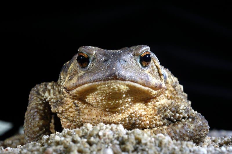 Общее bufo bufo жабы, лодкамиамфибия стоковые изображения