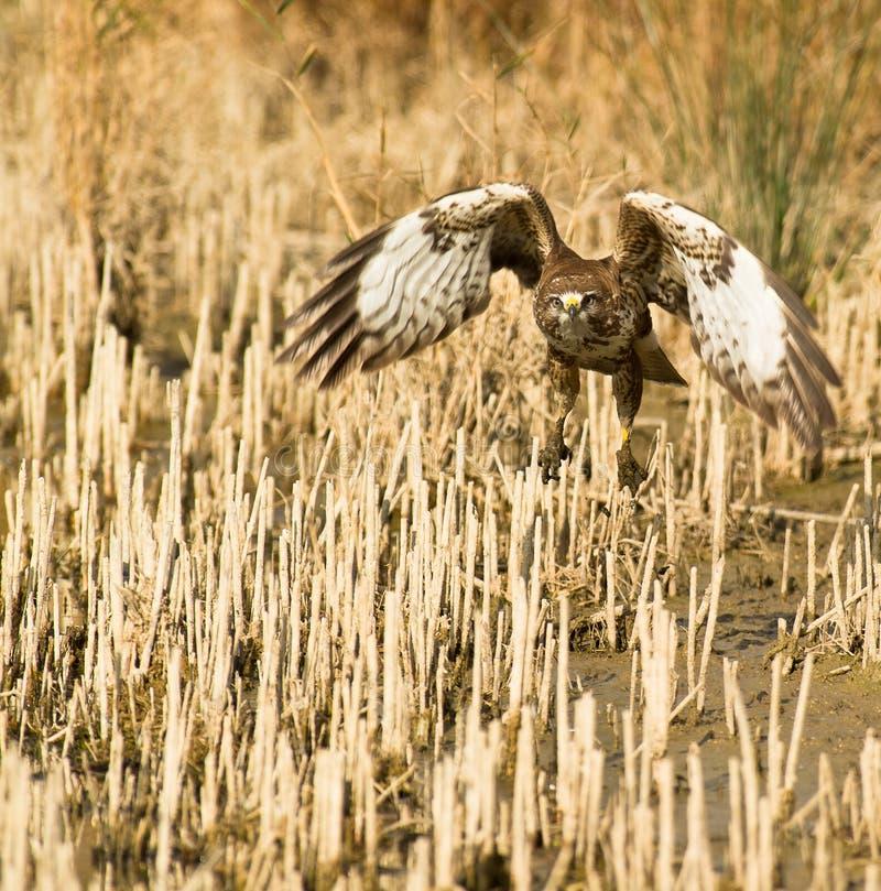 общее buzzard с принимать стоковые фотографии rf