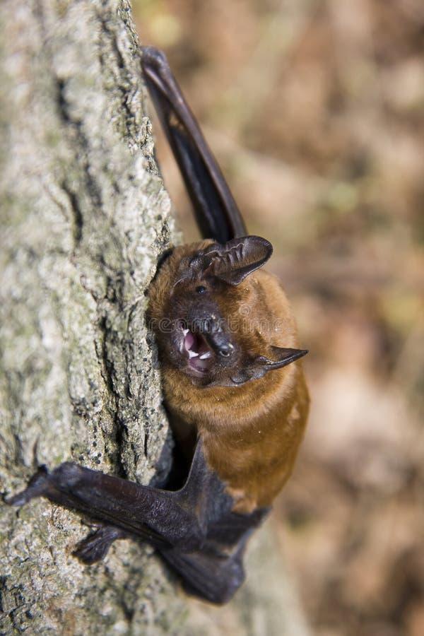 Летучая мышь на дереве стоковая фотография