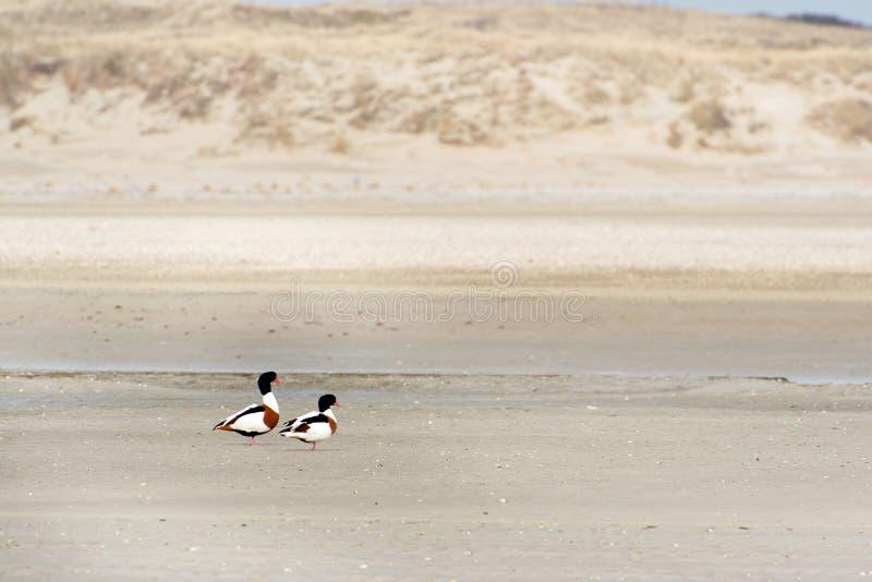 Общее Shelduck на Texel стоковое фото