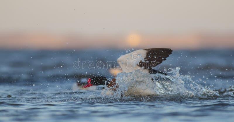 Общее Shelduck - tadorna Tadorna - бой птиц стоковые изображения rf