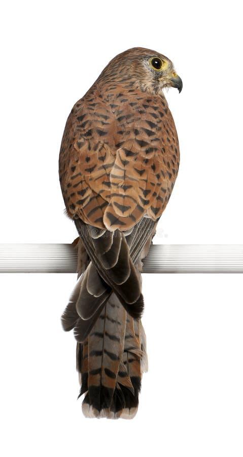 общее tinnunculus kestrel falco стоковое фото rf