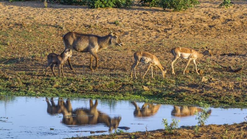 Общее Waterbuck в национальном парке Kruger, Южной Африке стоковая фотография
