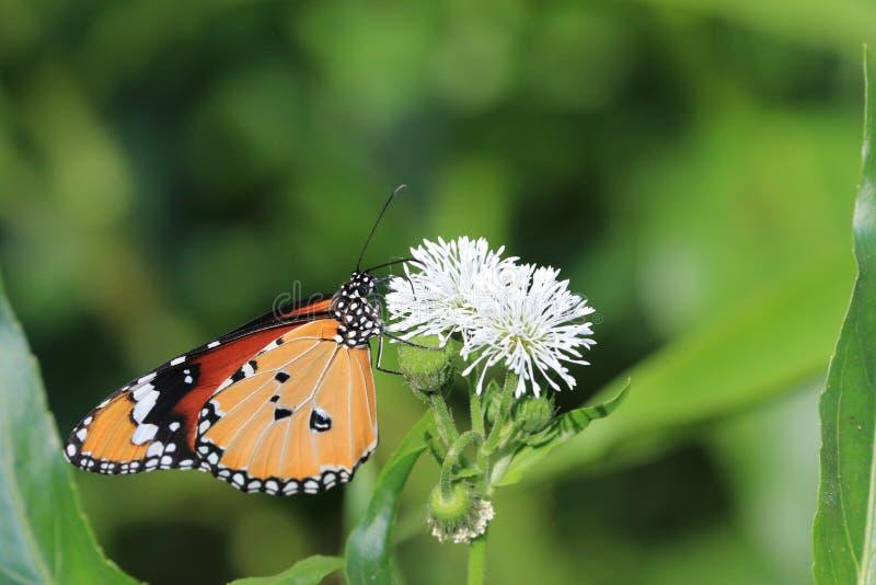 Общие бабочка и цветки тигра стоковая фотография