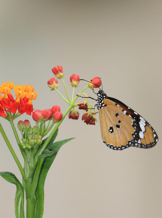 Общие бабочка и цветки тигра стоковое фото rf