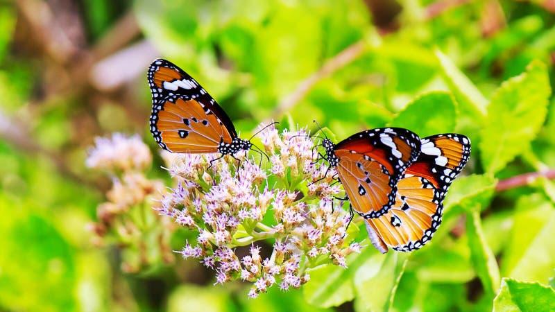 Общие бабочка и цветок тигра стоковая фотография