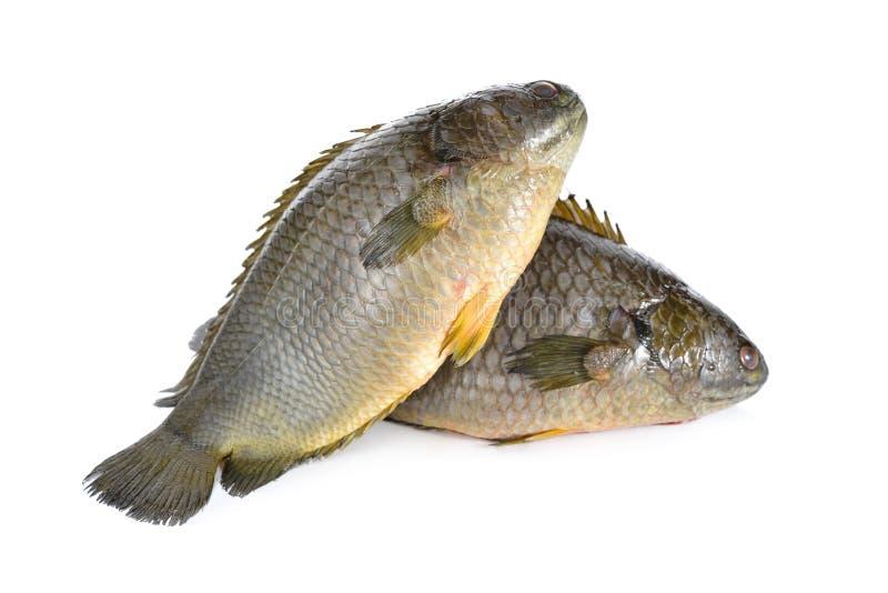 Общие взбираясь рыбы окуня или рыбы Koi на белизне стоковые фото