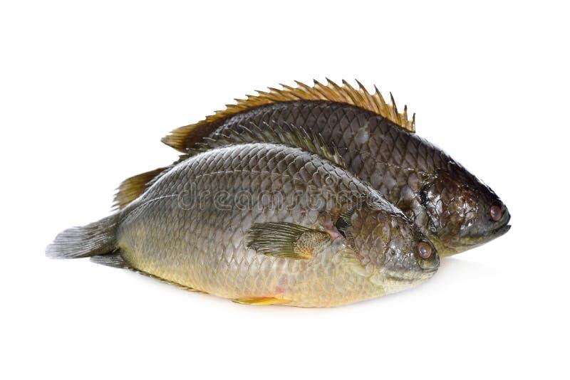 Общие взбираясь рыбы окуня или рыбы Koi на белизне стоковая фотография rf