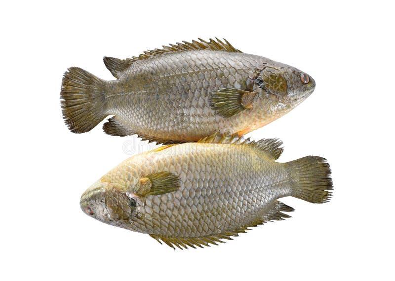 Общие взбираясь рыбы окуня или рыбы Koi на белизне стоковые изображения