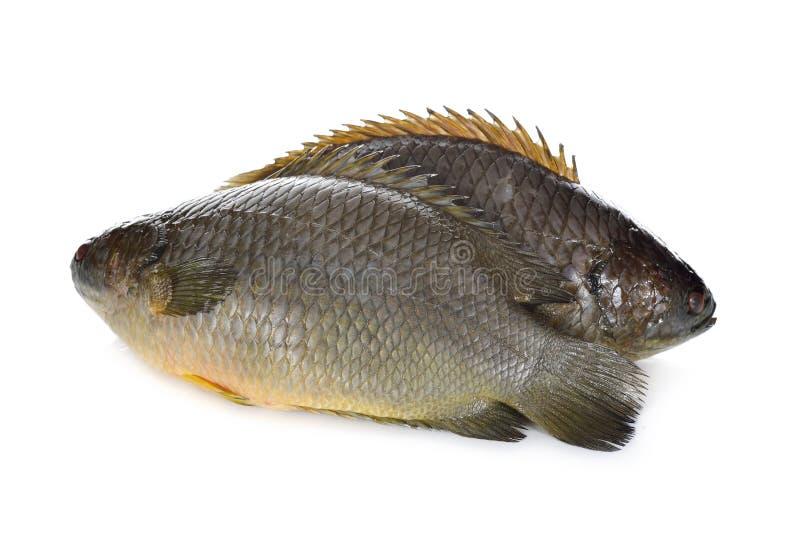Общие взбираясь рыбы окуня или рыбы Koi на белой предпосылке стоковые фото