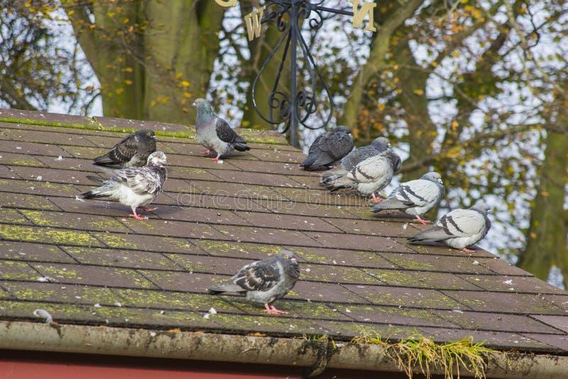 Общие голуби на крыше стоковая фотография rf