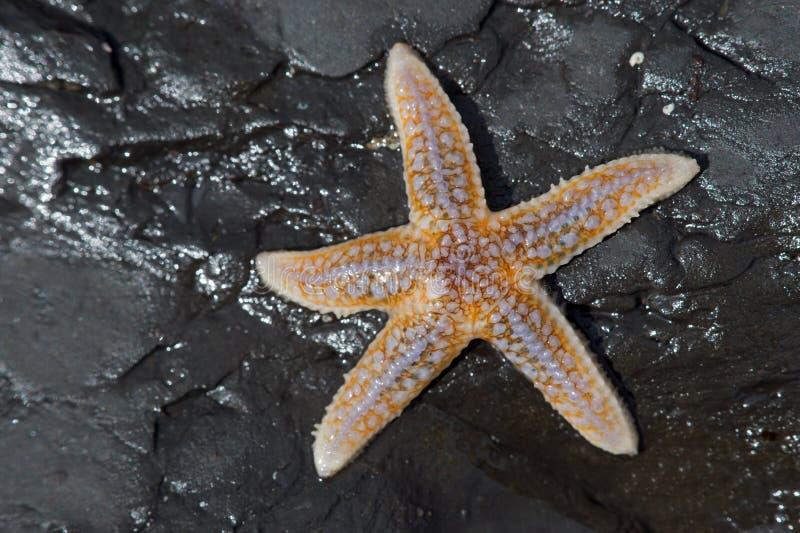 Общие морские звёзды (Asterias Rubens) стоковые изображения