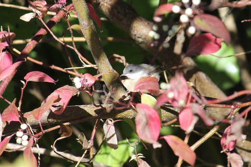 Общие whitethroat или Сильвия communis птица малая стоковые изображения rf
