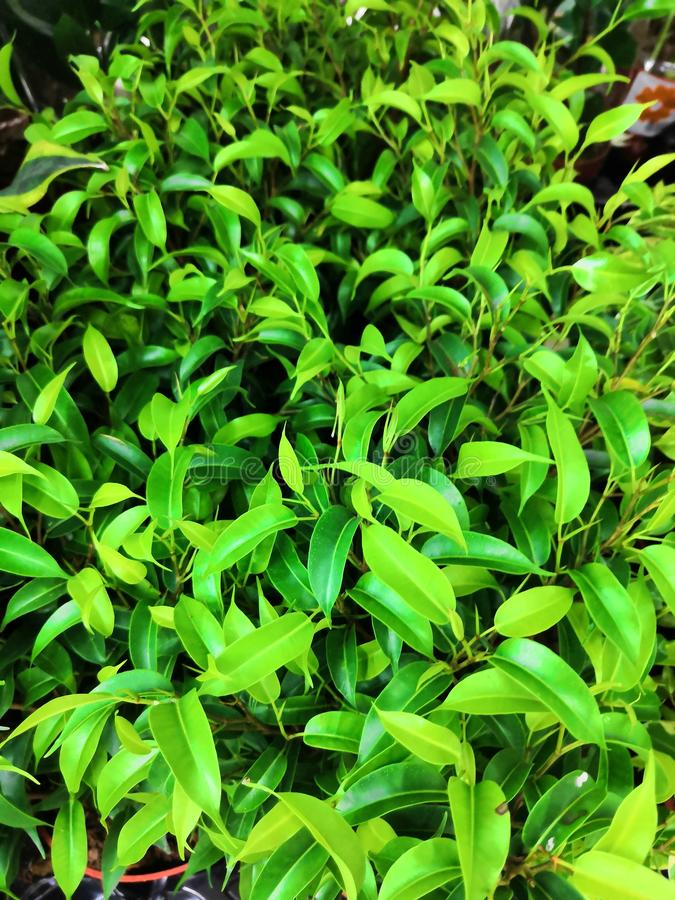 Общий завод дома в Юго-Восточной Азии, легко, который выросли на ладони пандана лист Pandan баков aka используемой как душистая а стоковое изображение