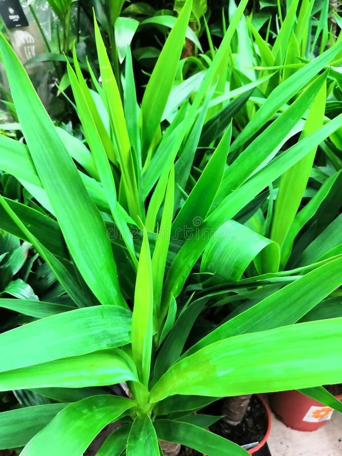 Общий завод дома в Юго-Восточной Азии, легко, который выросли на ладони пандана лист Pandan баков aka используемой как душистая а стоковые изображения rf