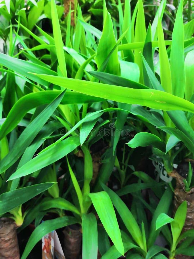 Общий завод дома в Юго-Восточной Азии, легко, который выросли на ладони пандана лист Pandan баков aka используемой как душистая а стоковые фото