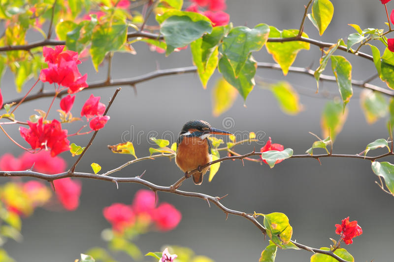 общий завод kingfisher стоковое фото