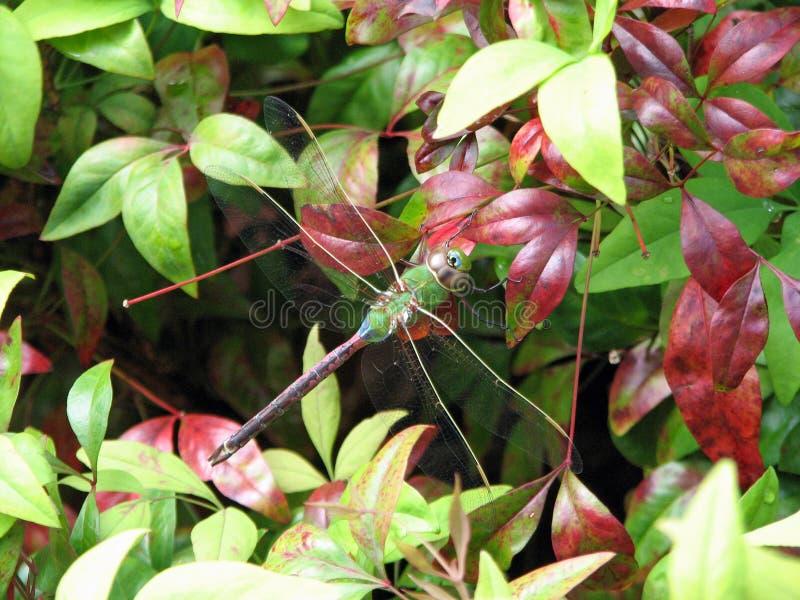 Общий зеленый более Darner крупный план dragonfly заново вытек стоковые фото