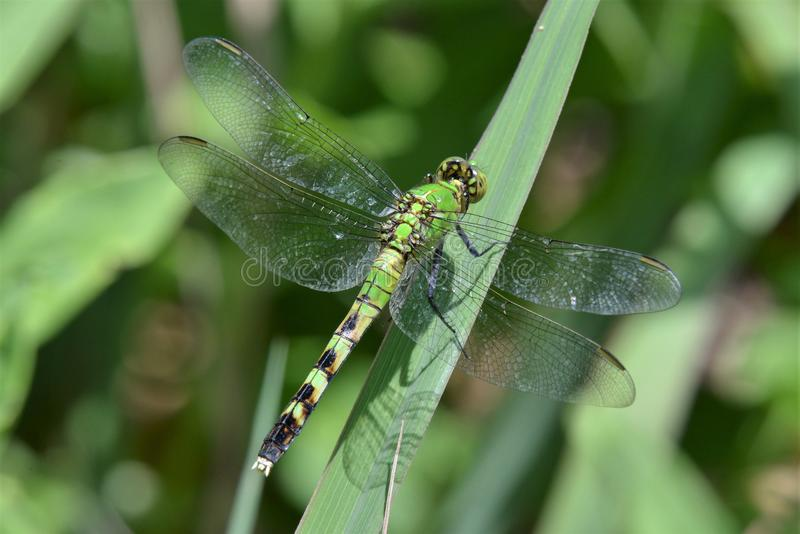 общий зеленый цвет dragonfly darner стоковое изображение