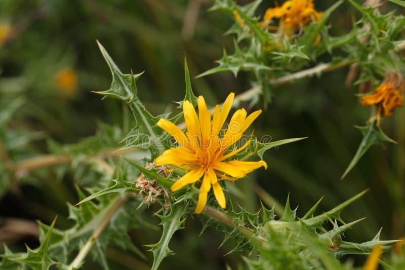 Общий золотой thistle (hispanicus Scolymus) стоковая фотография rf