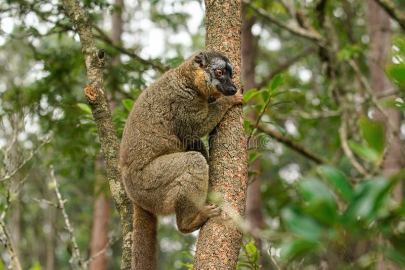 Общий коричневый лемур - fulvus Eulemur - держать дальше дерево, запачканный лес в предпосылке Лемуры эндемичны к Мадагаскару стоковые изображения