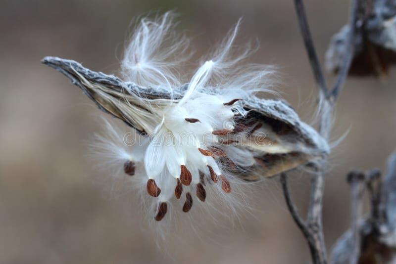 Общий крупный план Milkweed (syriaca Asclepias) стоковое изображение