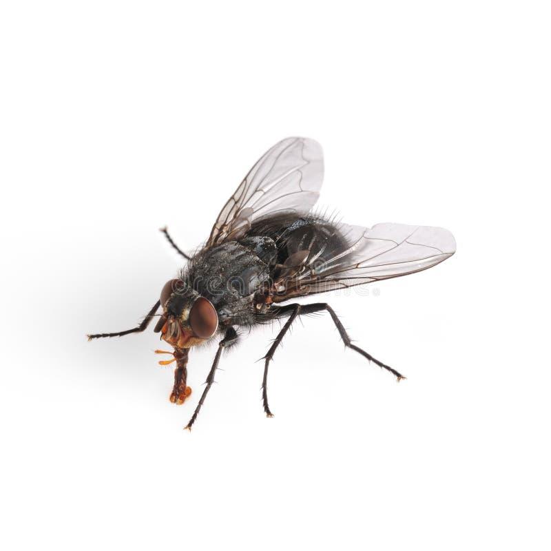 общий макрос дома мухы стоковое фото rf