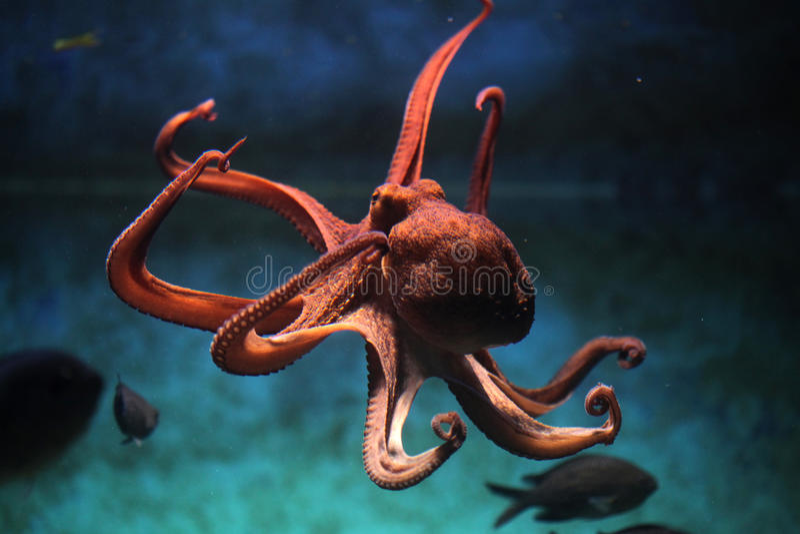 Общий осьминог (осьминог vulgaris) стоковые фото