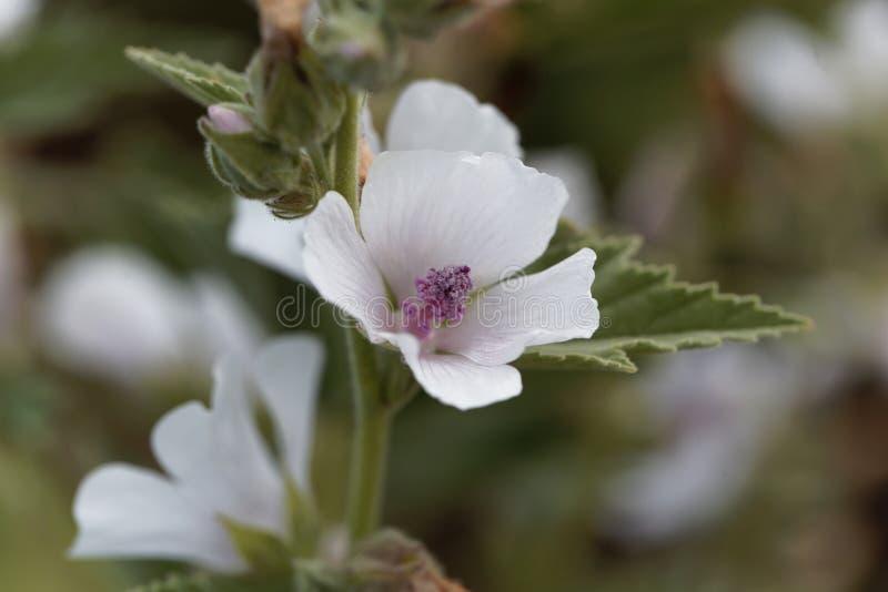 Общий просвирник болота, officinalis Althaea стоковое изображение rf
