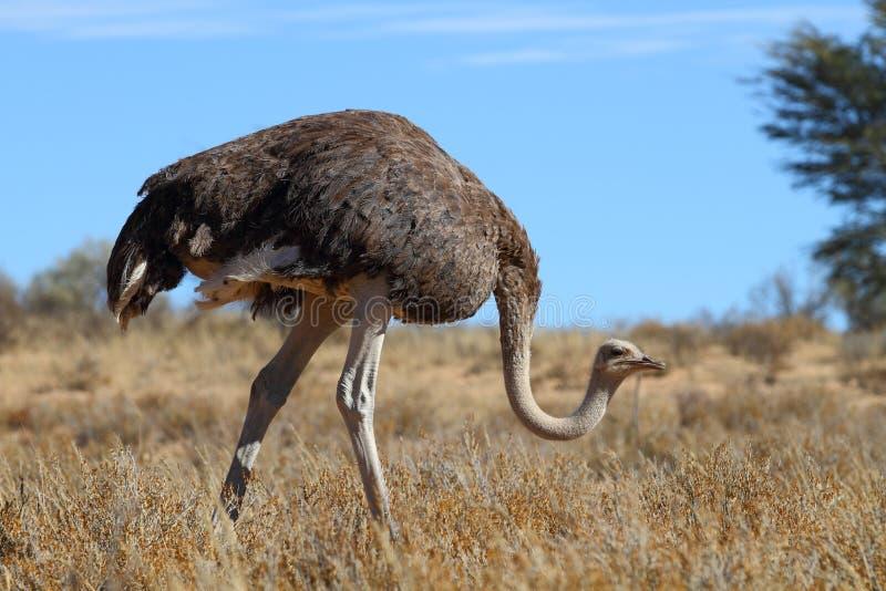общий страус стоковое фото rf