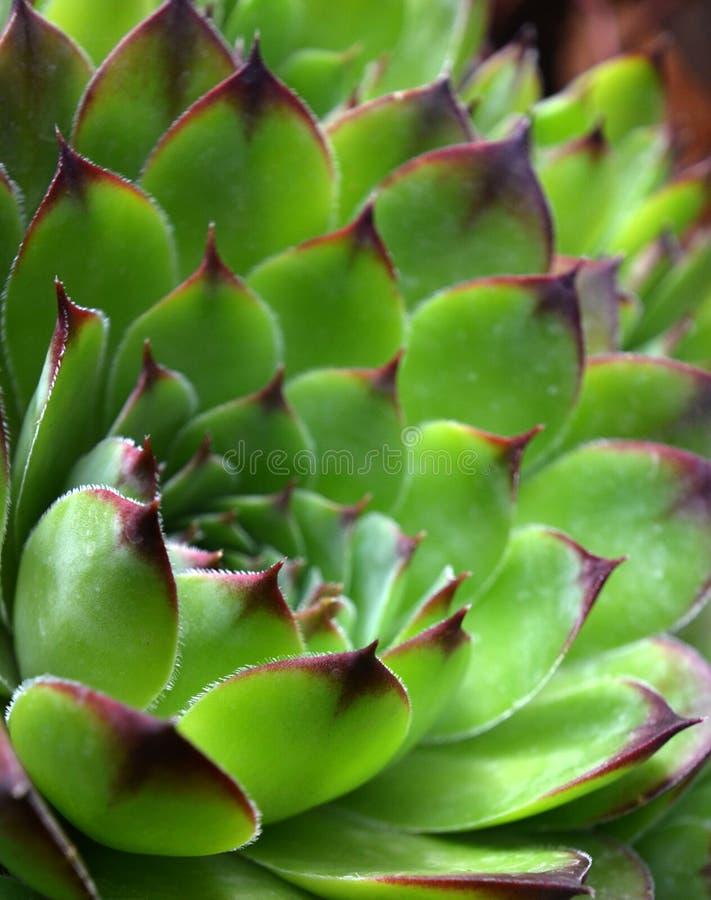 Общий лук-порей дома, Sempervivum стоковое фото