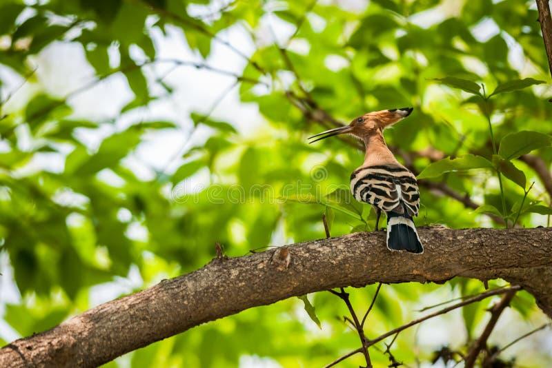 Общий удод, epops Upupa, птица, садился на насест на ветви дерева стоковые фото