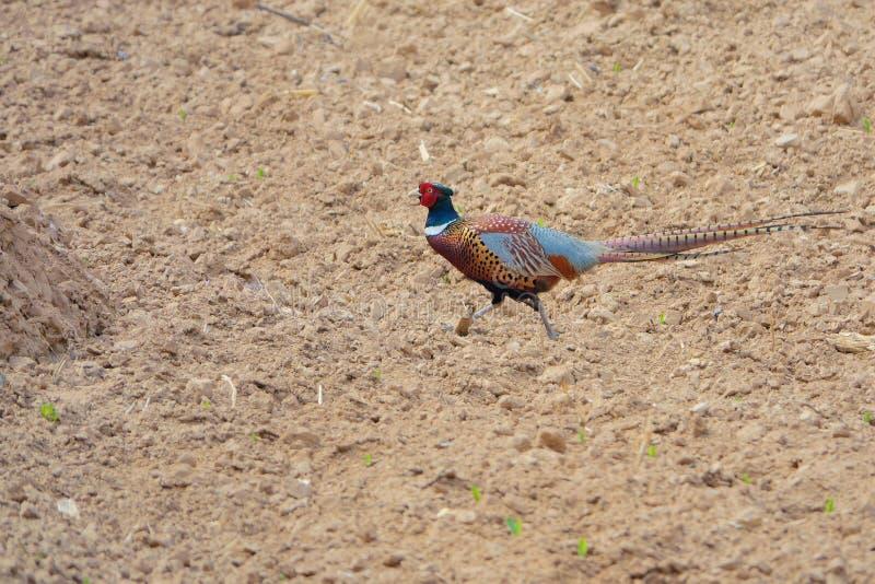 Общий фазан стоковая фотография