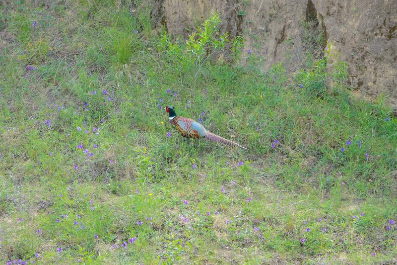 Общий фазан стоковое изображение rf