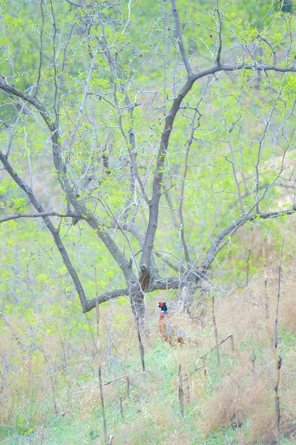 Общий фазан стоковые фото