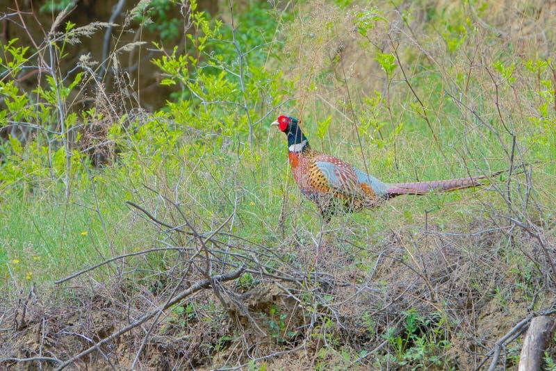 Общий фазан стоковое изображение