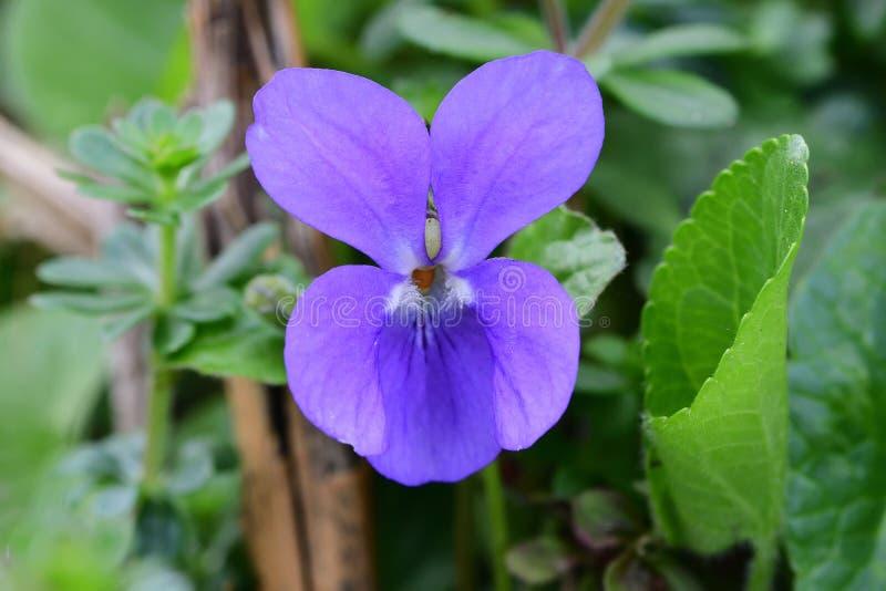 Общий фиолетовый odorata альта стоковые изображения