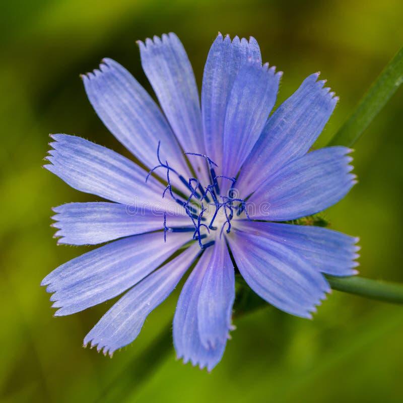 Общий цветок цикория стоковое изображение