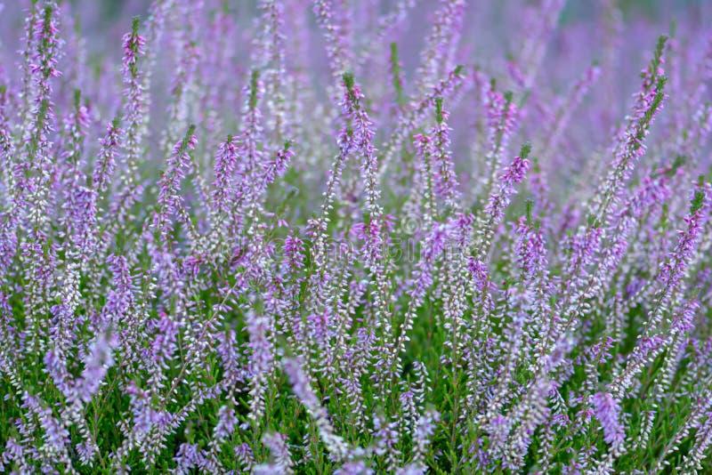 Общий цветя вереск стоковое фото