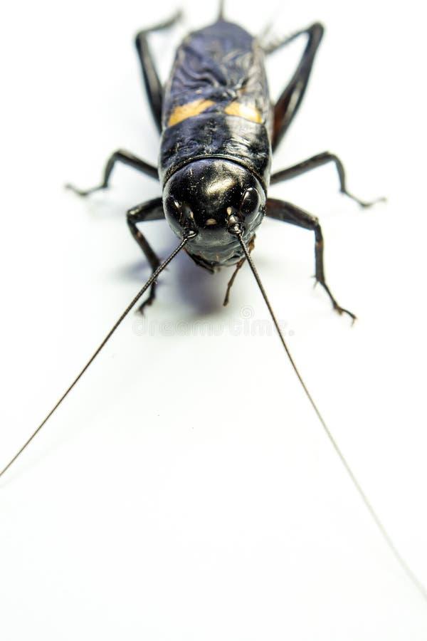 Общий черный сверчок, изолированное насекомое на белой предпосылке стоковое изображение