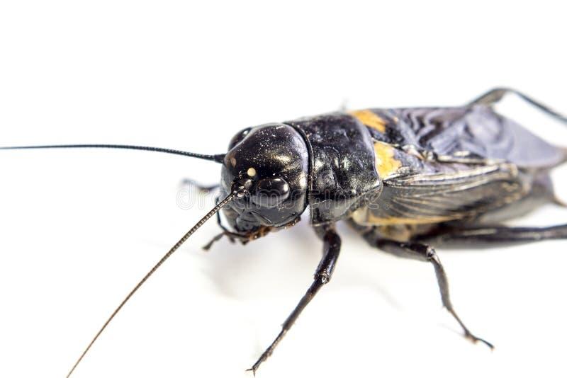 Общий черный сверчок, изолированное насекомое на белой предпосылке стоковое изображение rf