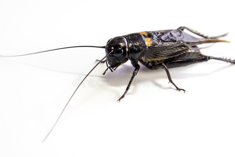 Общий черный сверчок, изолированное насекомое на белой предпосылке стоковое фото rf