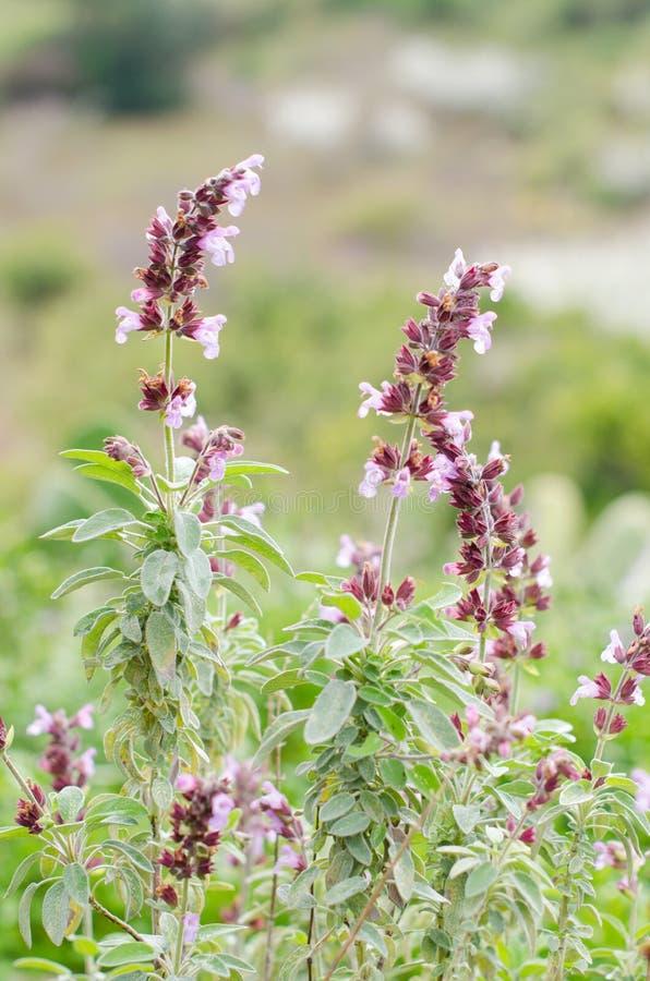 Общий шалфей (officinalis Salvia) стоковая фотография